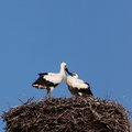 White stork baby birds in a nest the young costs big from rods Royalty Free Stock Images