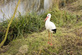 White Stork Bird Royalty Free Stock Image