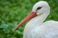 White stork bird close up of a Stock Photo