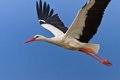 White stork in flight Royalty Free Stock Photography
