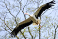 White stork in flight Stock Images