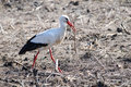 White stork gathering branches Royalty Free Stock Photography