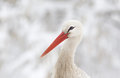 White stork head Royalty Free Stock Photo