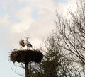 White stork a huge standing in a big nesting place made of twigs and branches Stock Image