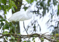 The white stork is hunting in the jungle. Royalty Free Stock Photo