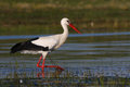 White stork hunting Royalty Free Stock Photo