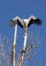 White stork landing on a tree branch. Royalty Free Stock Photo