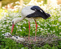 White stork with offspring in their nest Stock Images