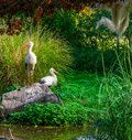 White stork standing on a rock with another stork in the background, common birds of europe Royalty Free Stock Photo