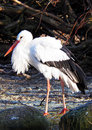 White stork a wild in zoo Stock Image