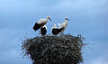 White storks many in nest Stock Images