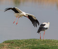 White Storks meeting Royalty Free Stock Photos