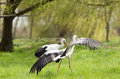 White storks standing on grass one has spread wings Royalty Free Stock Photography