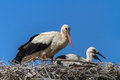 White storks stork with her young bird on the nest Stock Photos