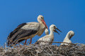 White storks stork with her young birds on the nest Royalty Free Stock Photography