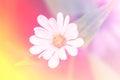 White Straw flower Royalty Free Stock Photo