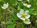 White strawberry flowers