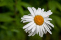 White summer daisy Royalty Free Stock Photo