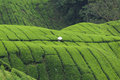 White sunshade in the green tea field Stock Image