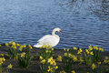 White Swan Beside Blue Lake An...