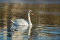 White swan on blue pond autumnal Stock Photos
