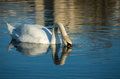 White swan on blue pond autumnal Stock Images