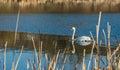 White swan on blue pond autumnal Royalty Free Stock Photo