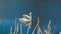 White swan on blue pond autumnal Stock Image