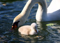White swan cygnet with mother in the water Stock Images