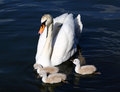 White Swan Cygnets with Mother Royalty Free Stock Photo