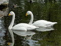 White swan on a dark pond pair of swans swim the waters of city Stock Photography
