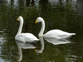 White swan on a dark pond pair of swans swim the waters of city Stock Photos