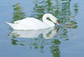 White swan floating on lagoon Stock Images