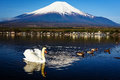 White swan floating on Yamanaka lake with Mount Fuji view, Yamanashi, Japan. Royalty Free Stock Photo
