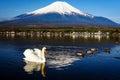 White swan floating on Yamanaka lake with Mount Fuji view, Yamanashi, Japan. Royalty Free Stock Photo