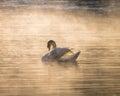 White swan on fog reservoir
