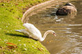 White swan going to the river Royalty Free Stock Image