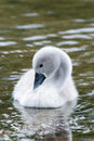 White swan hatchling seen at a lake near cologne hoehenfelder see in spring Stock Photography