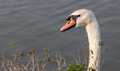 White swan head close up and water drop at mouth behind the bush Stock Image