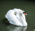 White swan on the lake beautiful bird water Royalty Free Stock Photos