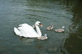 White swan on the lake with nestlings parent fedglings water Stock Photos