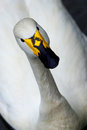 White Swan, a look into the eyes Royalty Free Stock Photo