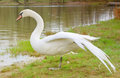 White swan with open wings near river Stock Photos