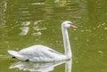 White swan with orange beak, feathers, close up, isolated on wat Royalty Free Stock Photo