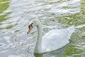 White swan with orange beak, feathers, close up,  on wat Royalty Free Stock Photo