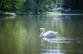 White swan on a pond. Royalty Free Stock Photo