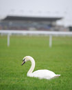 White swan on racecourse Royalty Free Stock Images