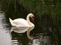 White swan with reflection in the water Royalty Free Stock Photo