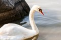 White swan on the river Royalty Free Stock Image