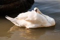 White swan on the river Royalty Free Stock Photos